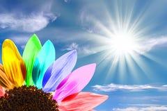 Chiuda su di un girasole dell'arcobaleno immagine stock libera da diritti