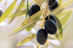 Chiuda su di un gruppo di olive nere Fotografie Stock Libere da Diritti