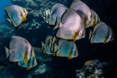 Chiuda su di un gruppo di pesci angelo Orbicular immagine stock
