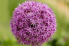 Chiuda su di un jesdianum dell'allium del fiore della erba cipollina con fondo confuso di estate Fotografie Stock Libere da Diritti