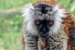 Chiuda in su di un lemur Fotografia Stock Libera da Diritti