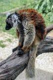 Chiuda in su di un lemur Immagini Stock Libere da Diritti