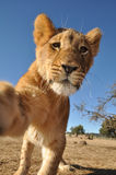 Chiuda in su di un leone in Africa Fotografie Stock