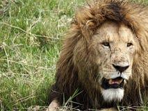 Chiuda su di un leone maschio Immagini Stock