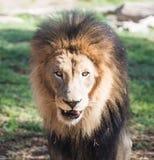 Chiuda su di un leone maschio africano Immagine Stock Libera da Diritti