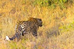 Chiuda su di un leopardo africano immagine stock libera da diritti