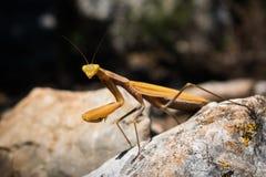 Chiuda su di un mantide pregante giallo arancione Mantodea che si siede su una roccia che esamina diritto la macchina fotografica fotografie stock