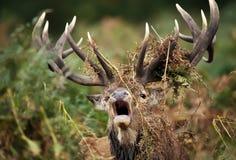 Chiuda su di un muggito del maschio dei cervi nobili fotografia stock