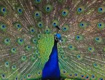 Chiuda in su di un pavone Fotografie Stock