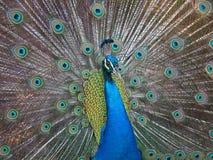 Chiuda su di un pavone con le piume aperte Fotografia Stock