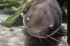 Chiuda su di un pesce gatto fotografia stock