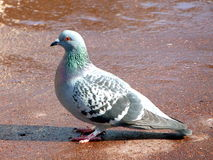 Chiuda su di un piccione magnifico Immagine Stock Libera da Diritti