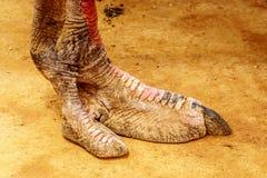 Chiuda su di un piede dello struzzo ad un'azienda agricola dello struzzo in Oudtshoorn nella provincia della Provincia del Capo O Fotografie Stock