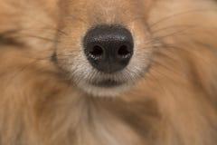 Chiuda in su di un radiatore anteriore di cani Fotografie Stock