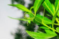 Chiuda su di un ragno verde che appende sopra da una foglia con un singolo filo immagine stock