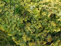 Chiuda su di un ramo con il lichene ed il muschio fotografia stock
