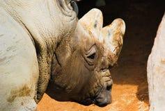 Chiuda su di un rinoceronte fotografia stock