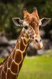 Chiuda su di un ritratto della testa della giraffa Fotografia Stock