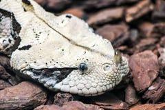 Chiuda su di un serpente cornuto del naso Fotografie Stock