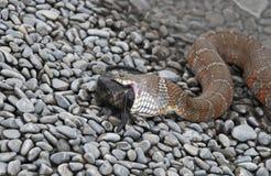 Chiuda in su di un serpente di acqua che ingerisce un pesce immagini stock