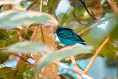 Chiuda su di un tanager del turchese in una serra tropicale immagini stock libere da diritti