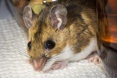 Chiuda su di un topo domestico marrone selvaggio alloggiato fra i contenitori di alimento in un armadio da cucina Fotografie Stock Libere da Diritti