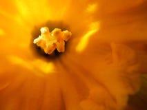 Chiuda su di un tulipano Fotografia Stock Libera da Diritti