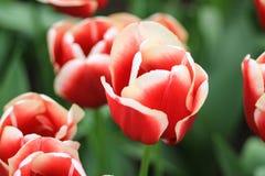 Chiuda su di un tulipano rosso con i bordi bianchi Fotografia Stock