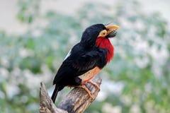 Chiuda su di un uccello barbuto del Barbet Fotografia Stock Libera da Diritti