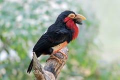 Chiuda su di un uccello barbuto del Barbet Fotografie Stock Libere da Diritti