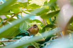 Chiuda su di un uccello tropicale marrone che guarda fuori tramite le foglie fotografia stock libera da diritti