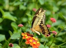 Chiuda su di una farfalla di coda di rondine Immagini Stock