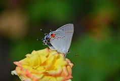 Chiuda su di una farfalla gialla di cabage Fotografia Stock