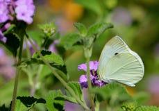 Chiuda su di una farfalla gialla di cabage Immagini Stock