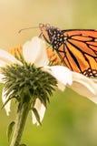 Chiuda su di una farfalla di monarca Fotografie Stock