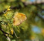 Chiuda su di una farfalla di zolfo esclusa arancia che fa le uova Immagini Stock Libere da Diritti