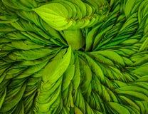 Chiuda su di una foglia di tè verde su un fondo della foglia, in India Immagine Stock Libera da Diritti