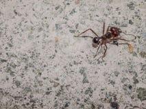 Chiuda su di una formica sulla pavimentazione di un marciapiede fotografie stock libere da diritti