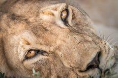 Chiuda su di una leonessa fotografia stock libera da diritti