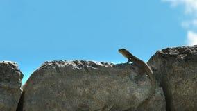 Chiuda su di una lucertola su una parete di pietra al picchu di machu video d archivio