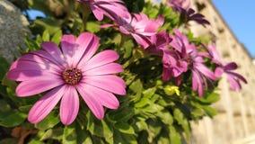 Chiuda su di una margherita rosa fotografia stock