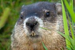 Chiuda in su di una marmotta nordamericana che scruta fuori Immagini Stock Libere da Diritti