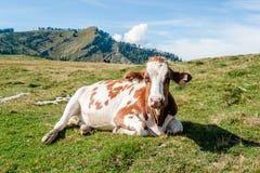 Chiuda su di una mucca di riposo Immagine Stock Libera da Diritti