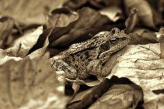 Chiuda su di una rana della foresta fotografie stock