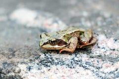 Chiuda su di una rana su roccia Immagine Stock