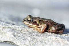 Chiuda su di una rana su roccia Fotografia Stock
