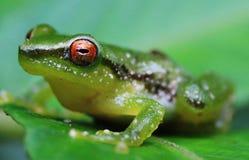 Chiuda su di una rana verde con un occhio arancio luminoso immagini stock libere da diritti