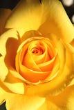 Chiuda su di una rosa luminosa di giallo Immagine Stock