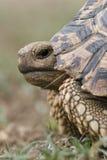 Chiuda su di una tartaruga del leopardo Fotografia Stock