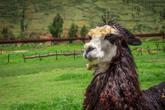 Chiuda su di una testa bianca dell'alpaca Immagine Stock Libera da Diritti